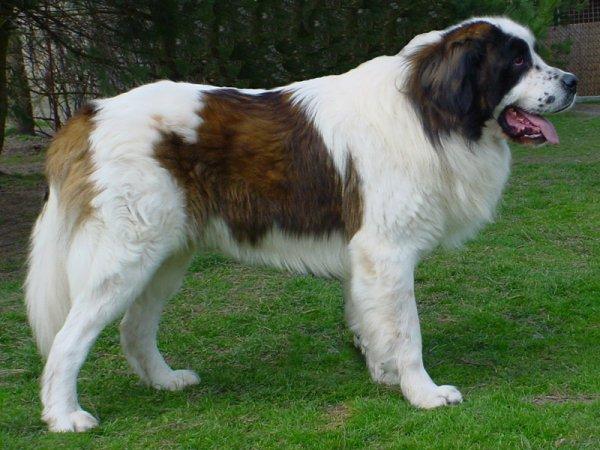 Москвоская сторожевая собака